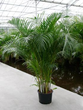 hydrokultur pflanzen kaufen hydrokultur pflanzen im kulturtopf 22 x 19 cm hydrokultur pflanzen. Black Bedroom Furniture Sets. Home Design Ideas