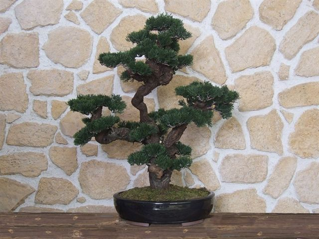 bonsai_cedar_4-kb